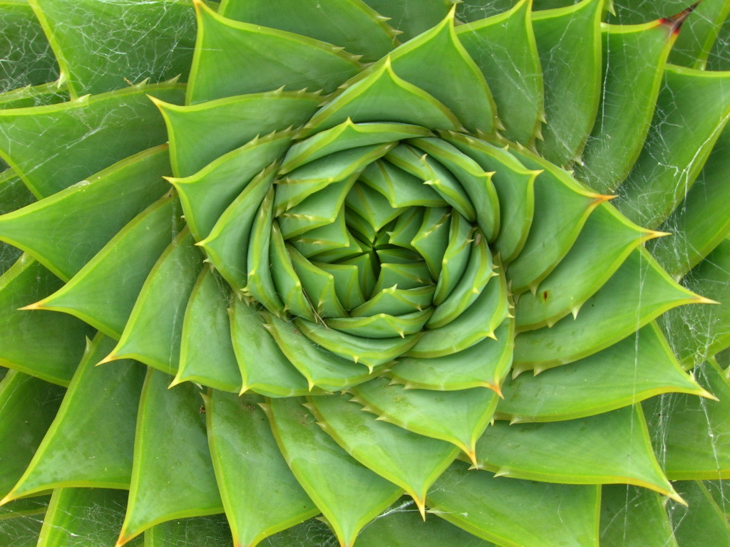 An Aloe Polyphylla Schönland ex Pillans plant displays a fibonacci sequence.