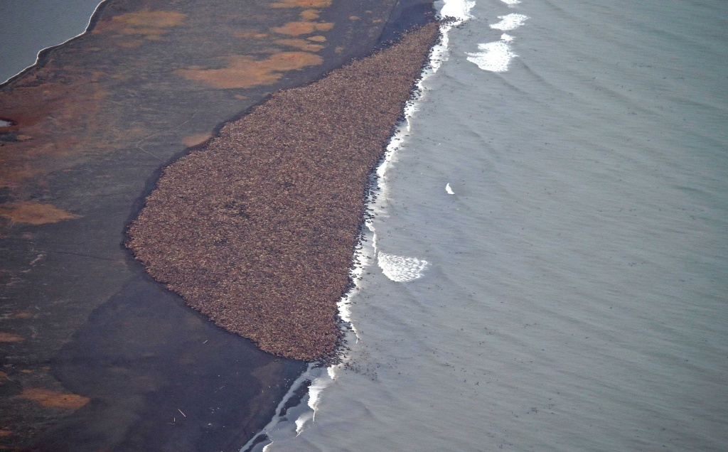 In this aerial photo taken on Sept. 27, 2014, and provided by NOAA, some 35,000 walrus gather on shore near Point Lay, Alaska.