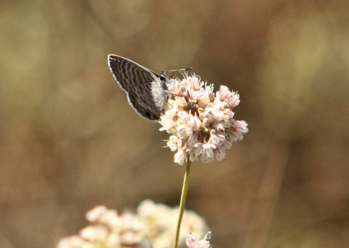 The El Segundo Blue Butterfly sits on a coastal buckwheat plant. The butterfly spends its whole life around the coastal buckwheat, which can last anywhere from two to seven days.