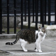 Larry the Downing Street cat, walks outside 10 Downing Street, the official residence of British Prime Minister Theresa May, in central London on March 29, 2017.