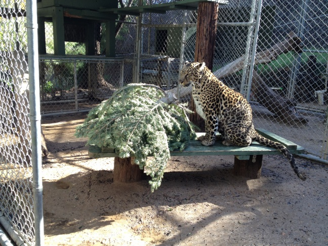 A leopard ponders what to do with the Christmas tree in its cage. The rescued wild animals at the Wildlife WayStation are given trees, rosemary, and magnolia branches regularly, which they enjoy playing with in the same way that domestic cats like catnip.
