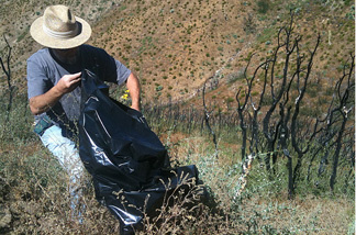 A volunteer for the Angeles National Forest picks up non-native Spanish broom seed pods and plants on Sunday, Aug. 22, 2010.