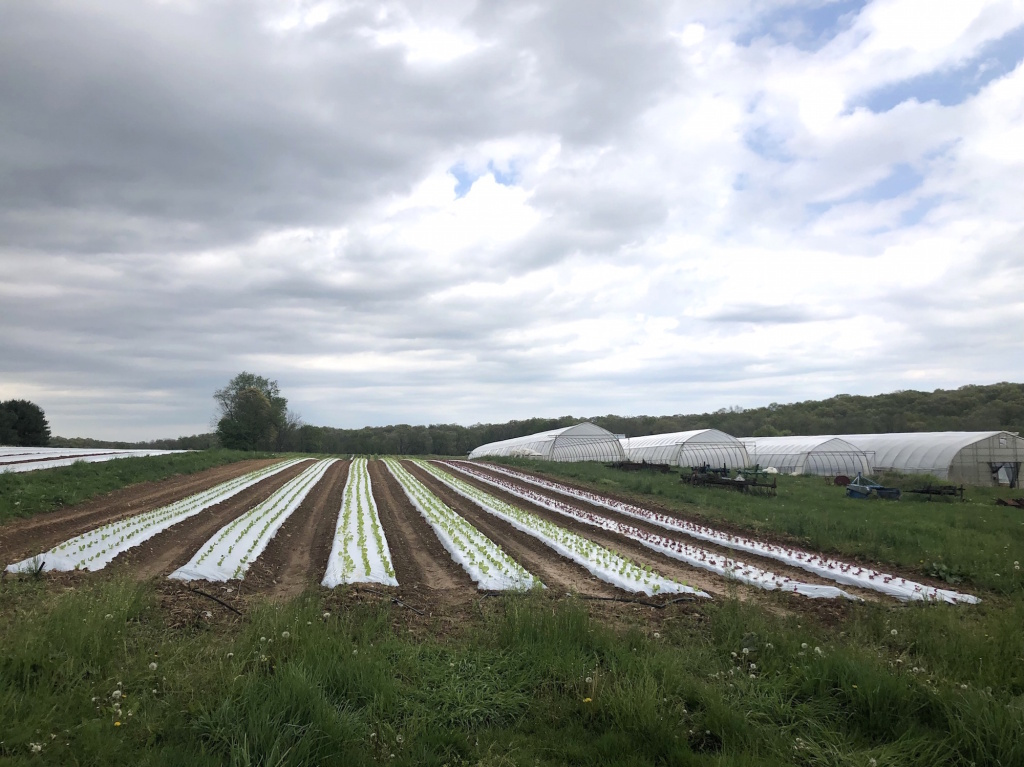 Lettuce sprouts amid rows of plastic covering the ground at One Straw Farm, an organic operation located north of Baltimore. Although conventional farmers also use plastic mulch, organic produce farms like One Straw rely on the material even more because they must avoid chemical weed killers, which are banned in organic farming.