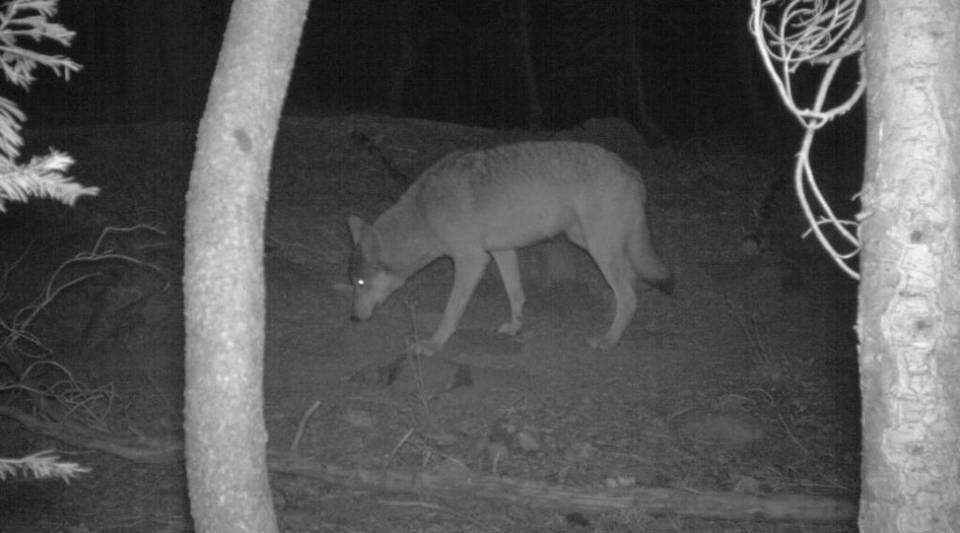 A remote trail camera captured this image of one of two gray wolves believed to be living in Lassen County.