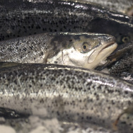 FRANCE-ECONOMY-DISTRIBUTION, salmon