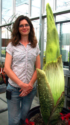 Emmer Ruano, left, and Luis  Burcaea take a pictures with their cell phones of the Amorphophallus titanum or commonly known as the corpse flower at the University of California, Santa Barbara greenhouse on Tuesday, July 23, 2013 in Santa Barbara, Calif. The foul smelling plant is expected to bloom within the next couple of days. (AP Photo/Chris Carlson)
