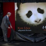 baby panda, giant panda cub, san diego zoo