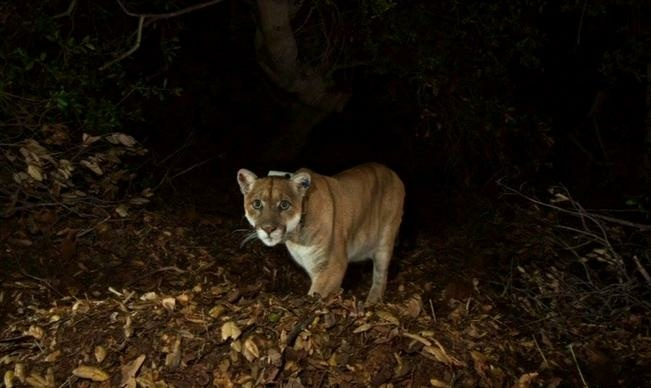 Mountain lion P-22 has recovered from mange. According to the National Park Service, his recovered health can be seen in his healthier, stronger whiskers.