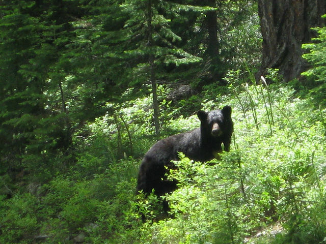 File photo shows a black bear. Spokeswoman for the California Department of Fish and Wildlife says black bear attacks are rare.