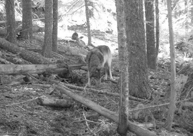 The Oregon gray wolf nicknamed OR-7, that recently wandered into Northern California. This photo was taken in 2011 by a trail camera in Oregon.