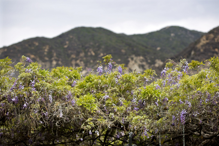 The vine was first planted in 1894. Sierra Madre has come to be known for its annual Wistaria Festival, and there's even a local restaurant named after it.