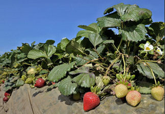 California's strawberry fields have become the latest battleground in a series of skirmishes over pesticide use. Growers say they need state regulators to approve the use of the fumigant methyl iodide as a replacement for methyl bromide, which damages the ozone layer.