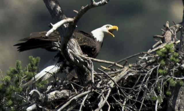 American Bald Eagle near the San Gabriel Dam