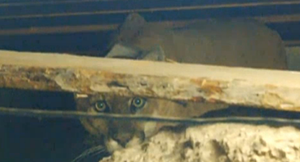 This image, taken from a live feed on NBCLA's website, shows the mountain lion P-22 stuck in the crawl space of a Los Feliz home.