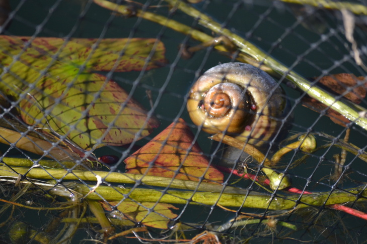 An apple snail is seen behind the protective netting in one of the lotus beds in Echo Park Lake. Some worry the snails could develop an appetite for the park's signature plant.