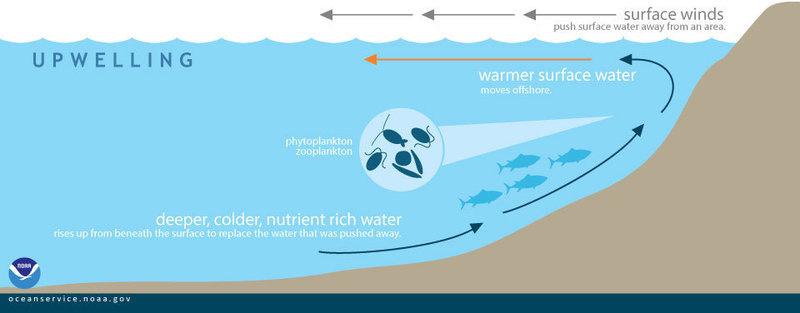 During upwelling, wind-displaced surface waters are replaced by cold, nutrient-rich water that