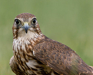 Ryan: Merlin (Falco columbarius) This small falcon preys on pigeons.