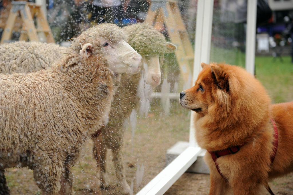 A curious dog stares at a flock of sheep at the US launch of HRH The Prince of Wales' Campaign For Wool at Bryant Park on September 27, 2012 in New York City. A new study finds that staring may help people understand the world around them.