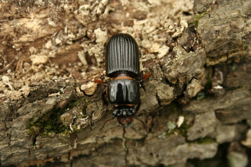 An infestation of bark beetles and the drought has threatened trees in California.