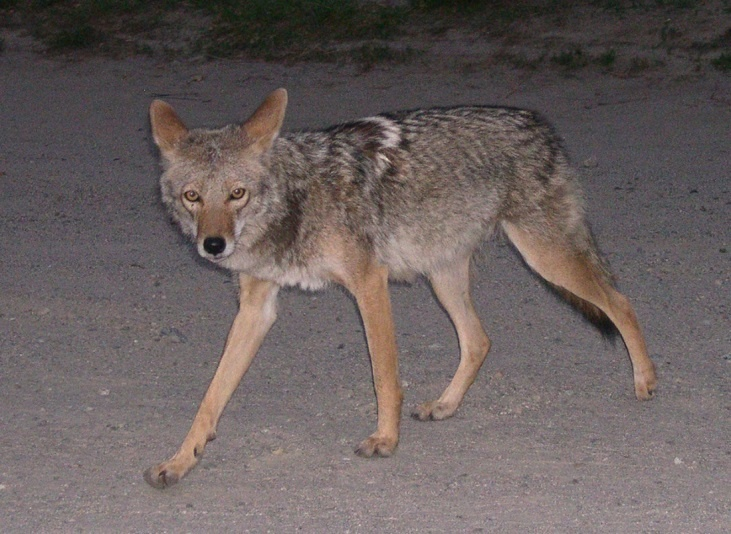 Concerns arose in recent months, leading the Culver City police to start tracking cases involving coyotes.