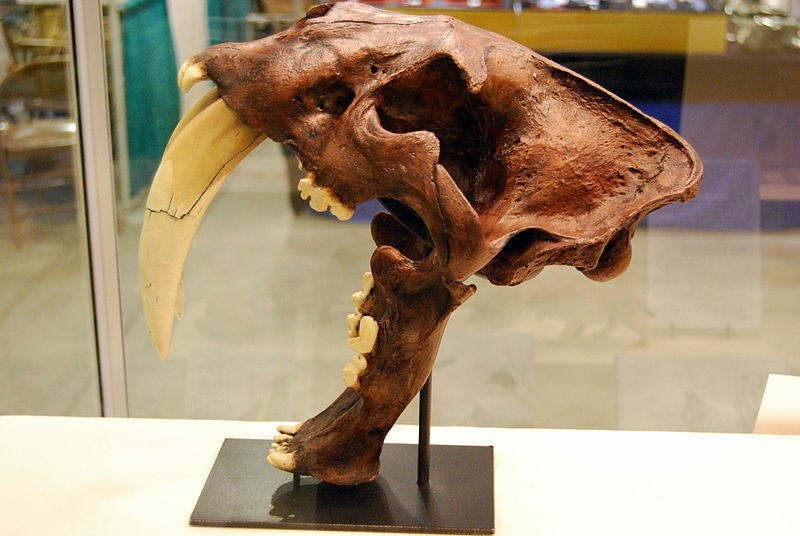 An example of a saber-tooth tiger skull.