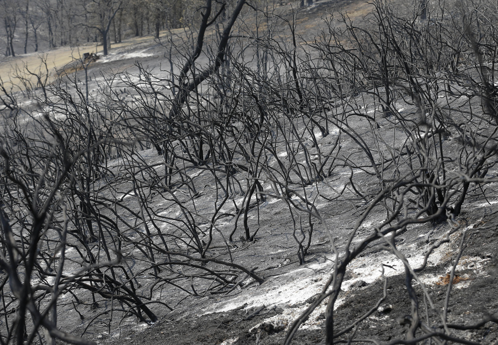 Burned plants are shown on a hill near Clearlake, Calif., Wednesday, Aug. 5, 2015.