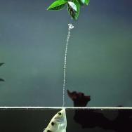 An archerfish takes aim