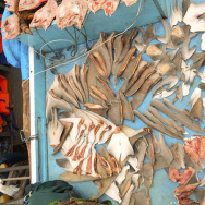 Fresh shark fins dry on the deck of an apprehended fishing boat in a declared shark and manta ray sanctuary located in the eastern region of Indonesia.