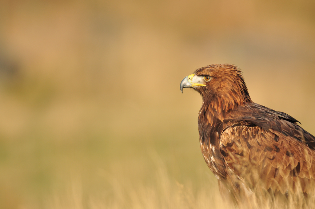 Eight golden eagles have been found dead at the Pine Tree Wind Farm near Mojave.