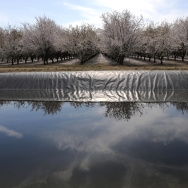 A field of almond trees is reflected in an irrigation canal in Firebaugh, Calif., in the San Joaquin Valley in 2009. The Almond Board of California says that in the past two decades, the industry has reduced its water consumption by 33 percent per pound o