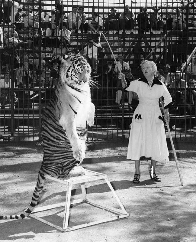 Satan, striped tiger at Jungleland in Thousand Oaks, goes through his paces for Mabel Stark, only woman tiger trainer in world, shortly after her return from Japan.