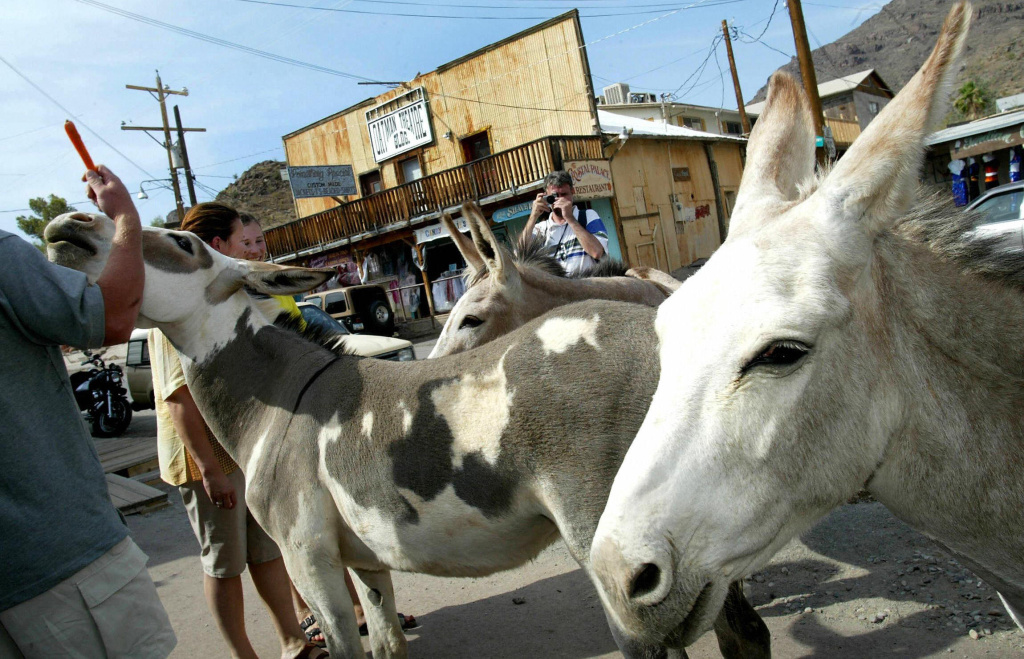 File: In Oatman, Ariz., burros are likely to nuzzle with tourists and are notoriously difficult to move out of harm's way.