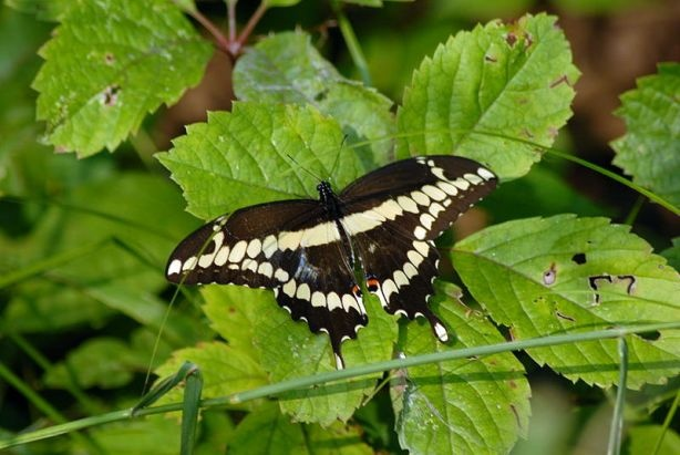 A Giant Swallowtail Butterfly