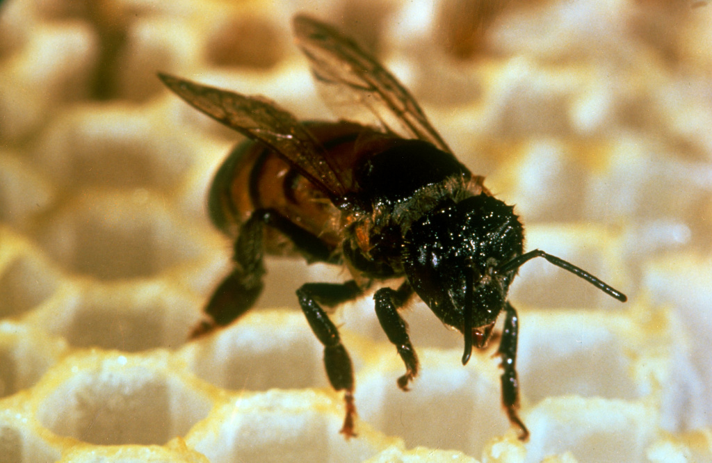 File photo: This 1991 photo shows a close up of an Africanized honeybee or killer bee.