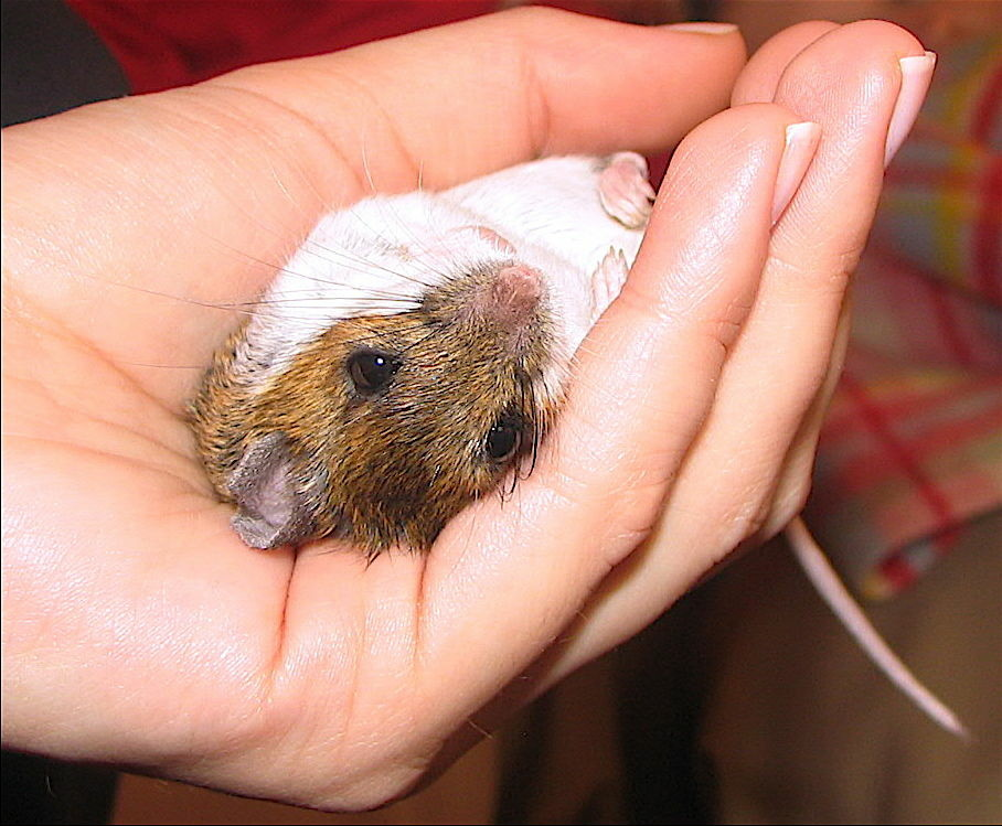 The deadly face of the Hantavirus. The little-known virus is spread through the deer mouse's droppings and urine.