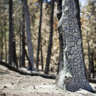 Scorched trees near Camp de Benneville Pines in Angelus Oaks are remnants of the more than 30,000-acre Lake Fire which was first reported on June 17, 2015. The camp will re-open this weekend after closing due to the fire.