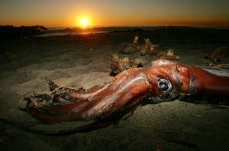 A giant squid lies on the beach after it washed ashore on January 19, 2005 in Newport Beach, California.  Video images have been captured of giant squid in the ocean.