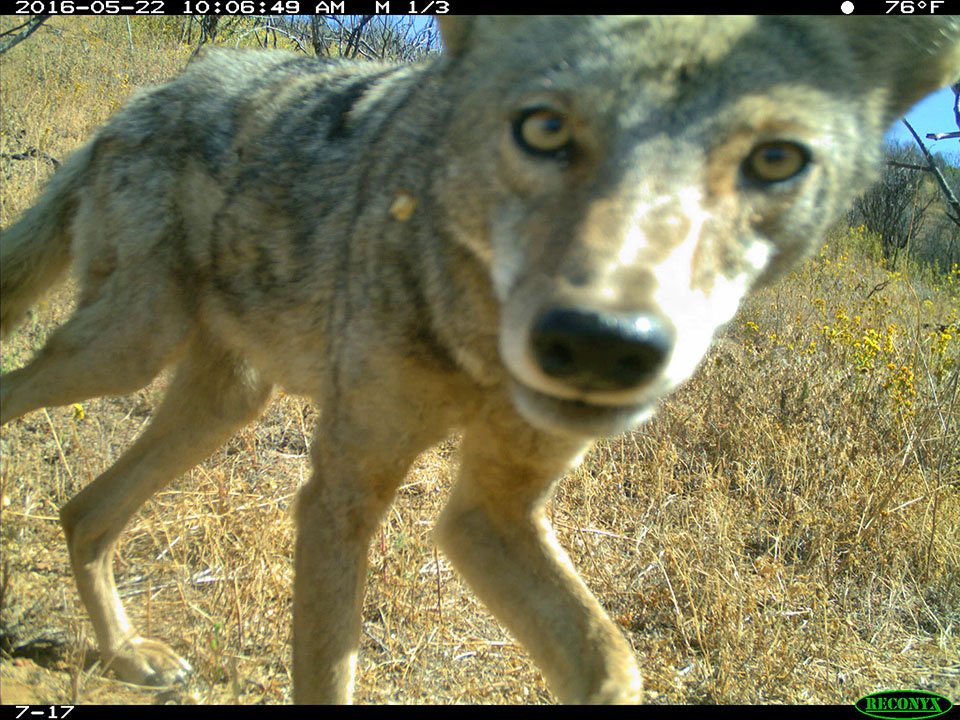 A coyote captured by a camera as part of the National Park Service's Springs Fire Wildlife Project. A year after the fire, coyotes were showing up twice as often in burned areas as in non-burned areas.