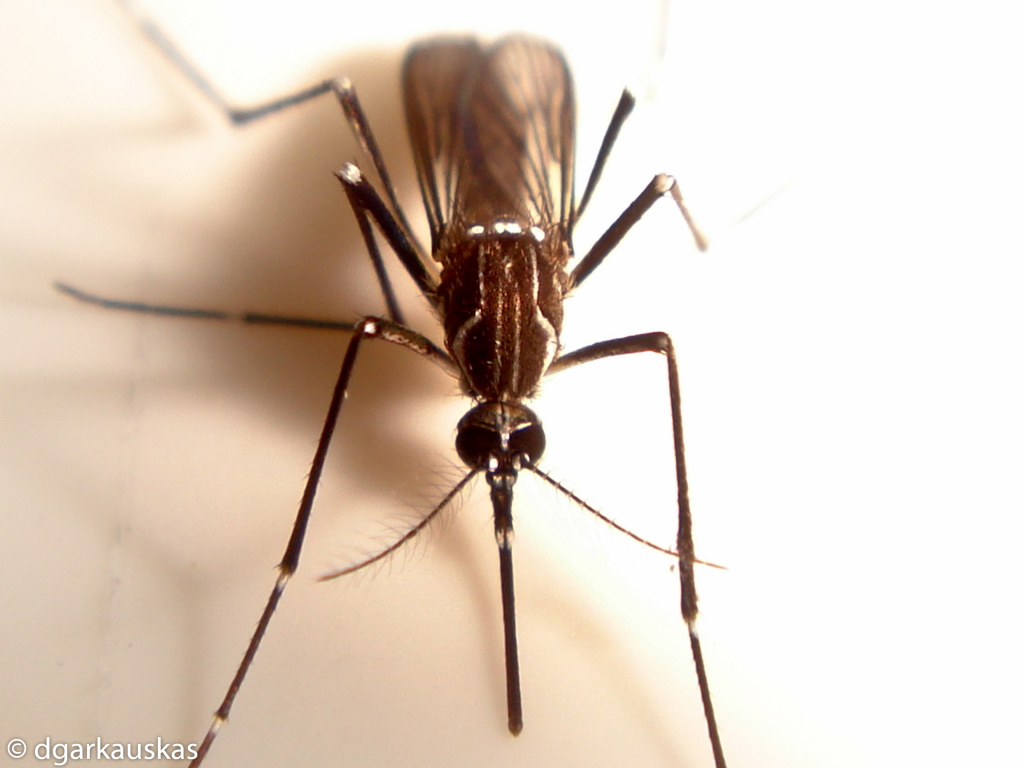 Aedes aegypti, one type of mosquito that can transmit Zika virus.
