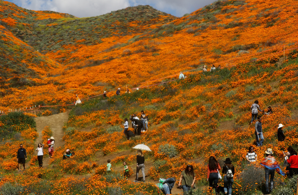 People visit a 'super bloom' of wild poppies blanketing the hills of Walker Canyon on March 12, 2019 near Lake Elsinore, California.