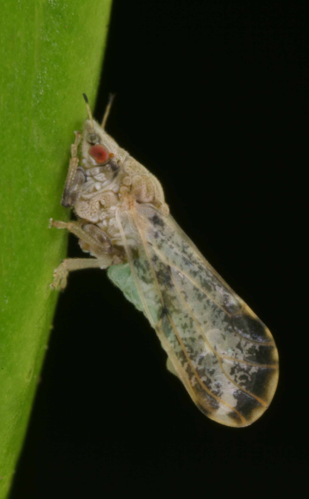 Adult Asian citrus psyllid