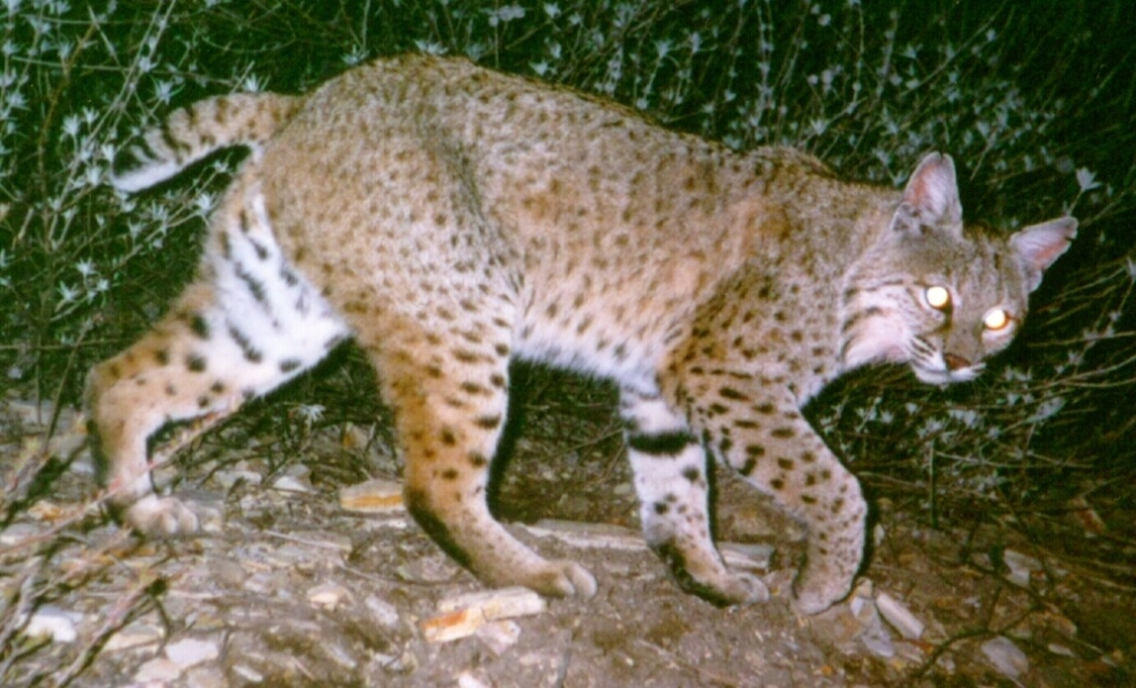 A male bobcat was snapped by a remote camera in the Simi Hills area.