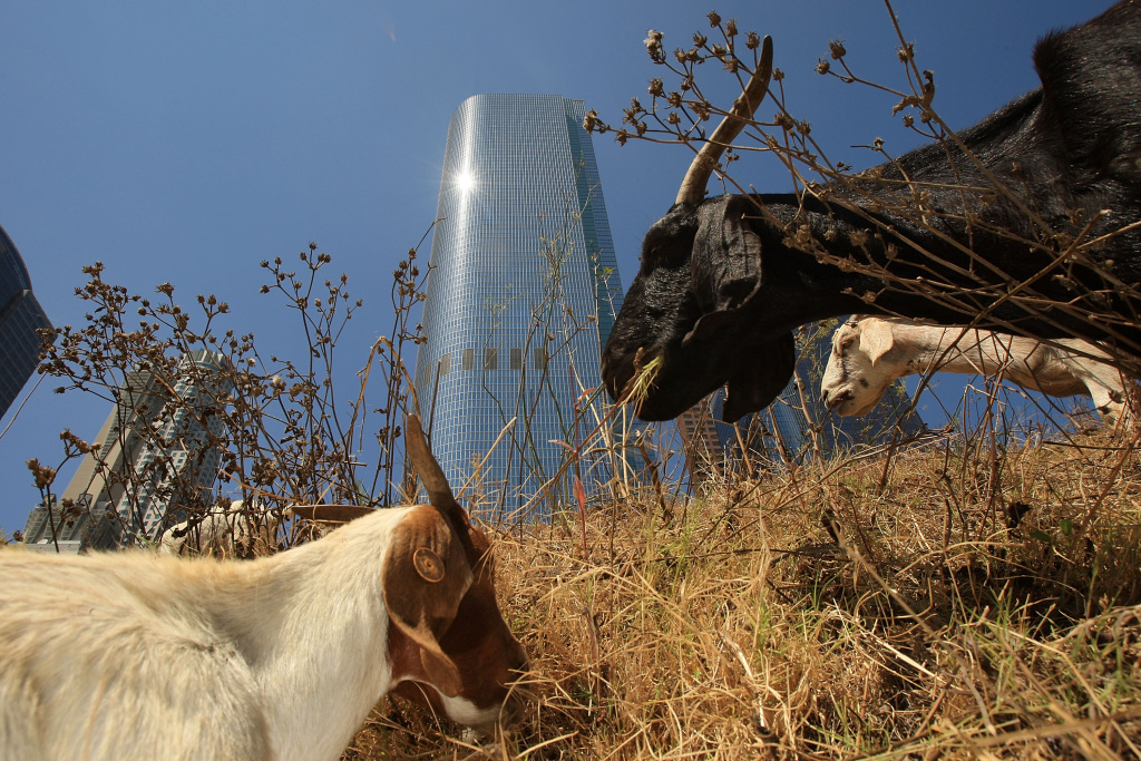 A herd of 100 South African Boer goats chews on tough weeds and dry grasses to clear a steep hillside lot near the Angels Flight funicular railroad on September 9, 2008 in downtown Los Angeles.