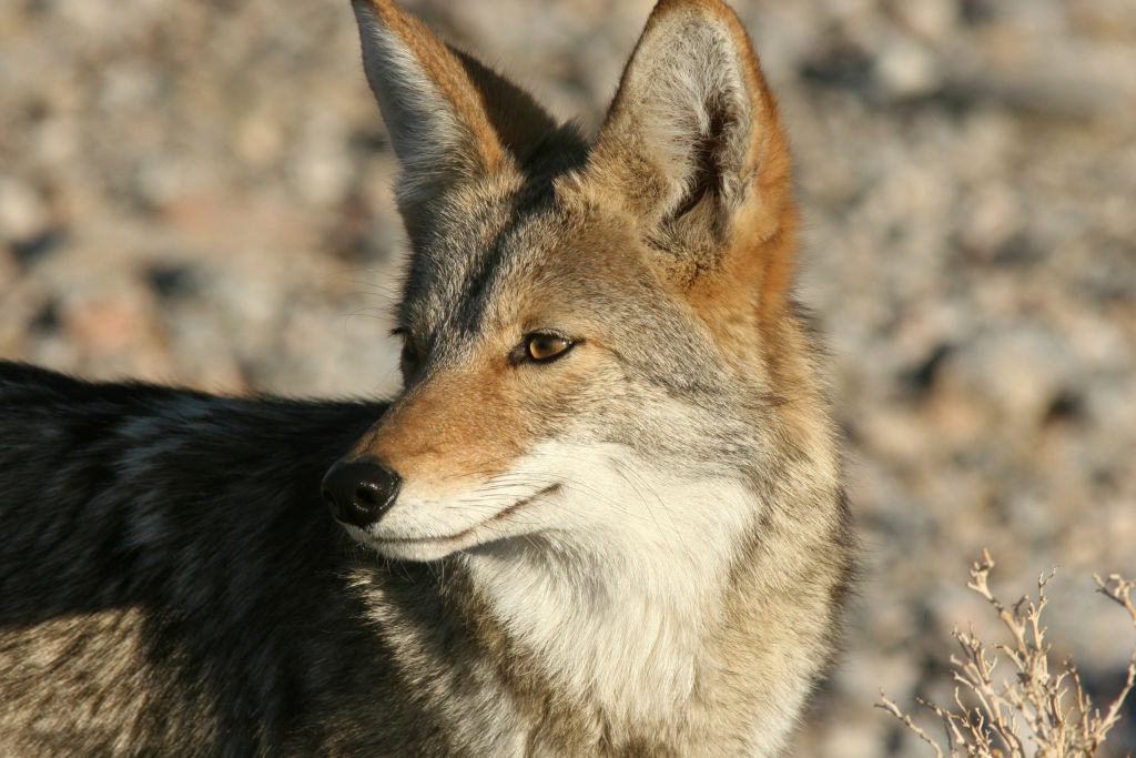 Huntington Beach has fielded lots of people's complaints about coyotes in residential areas. Officials there are voting on whether the town is big enough for both species.