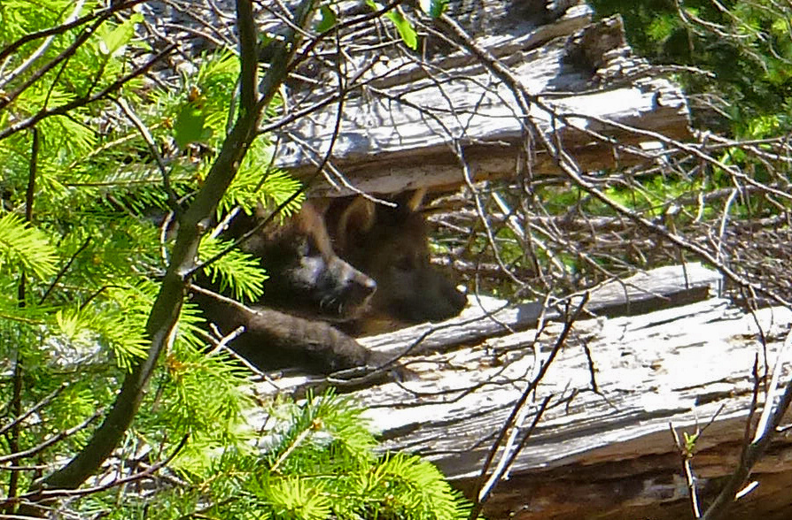 Wolf OR7 and a mate have produced offspring in southwest Oregon's Cascade Mountains, wildlife biologists confirmed  the week of June 2, 2014. In early May, biologists suspected that OR7, originally from northeast Oregon, had a mate in the Rogue River-Siskiyou National Forest when remote cameras captured several images of what appeared to be a black female wolf in the same area.  U.S. Fish and Wildlife Service (Service) and Oregon Department of Fish and Wildlife (ODFW) biologists returned to the area Monday and observed two pups. It would be the first known wolves to breed in the Oregon Cascades since the mid-1940s.  Photo by John Stephenson / USFWS