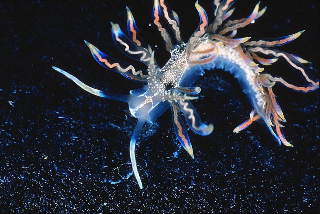 New species, Phyllodesmium acanthorhinum Photograph: Robert Bolland