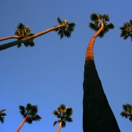 Los Angeles' iconic palm trees are disappearing.