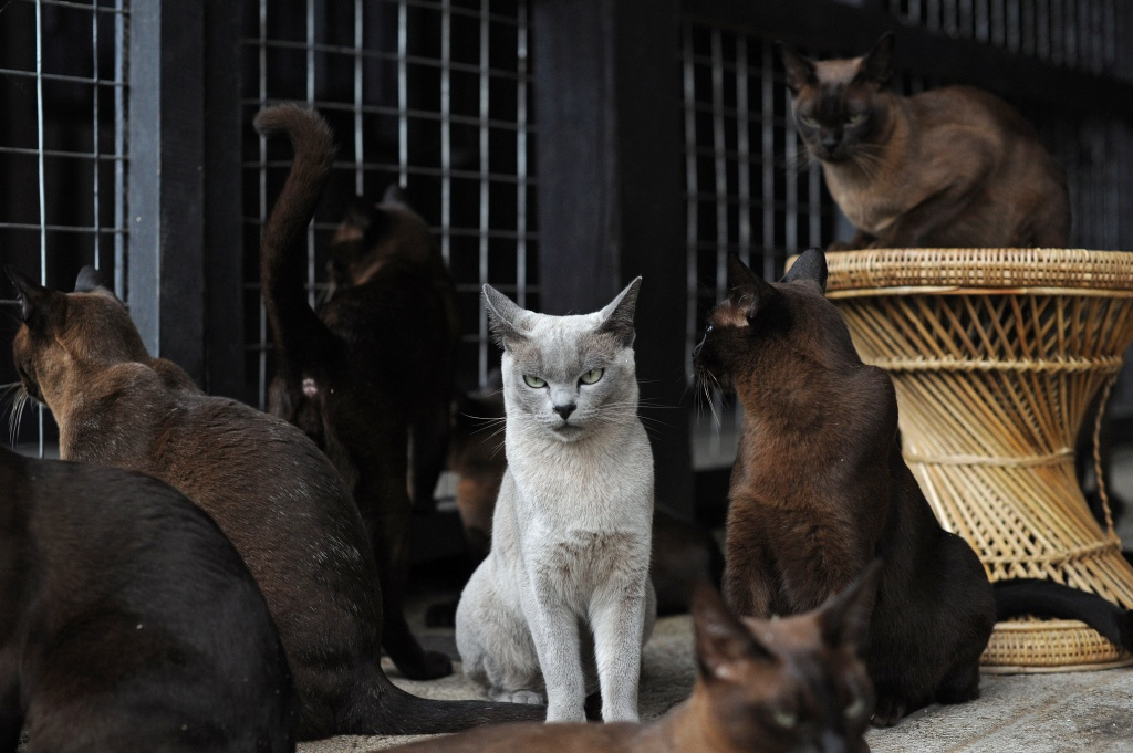 This picture taken on August 7, 2012 shows pedigree Burmese cats in their enclosure at the 'Inthar Heritage House' located on the shores of Inle Lake in eastern Shan State.