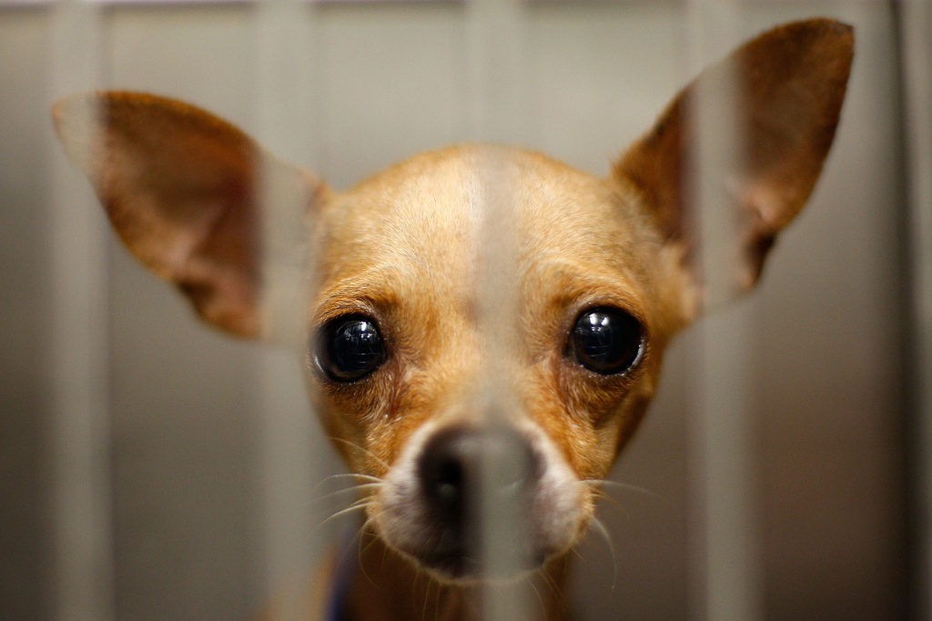 A Chihuahua waits adoption at a Los Angeles Department of Animal Services shelter on December 15, 2009 in Los Angeles, California.