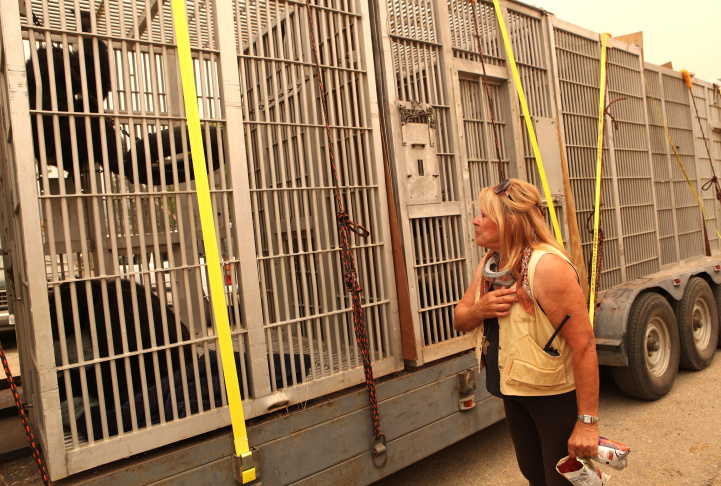 A mountain lion awaits transport in a cage aboard a truck as workers and volunteers evacuate animals from the Wildlife Waystation in Little Tujunga Canyon during the 127,00-acre Station Fire in 2009.